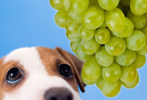 سگ انگور کشمش
