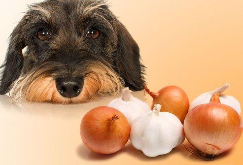 سگ پیاز سیر