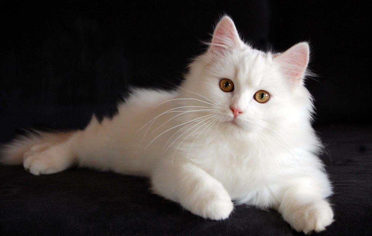 گربه پرشین 2