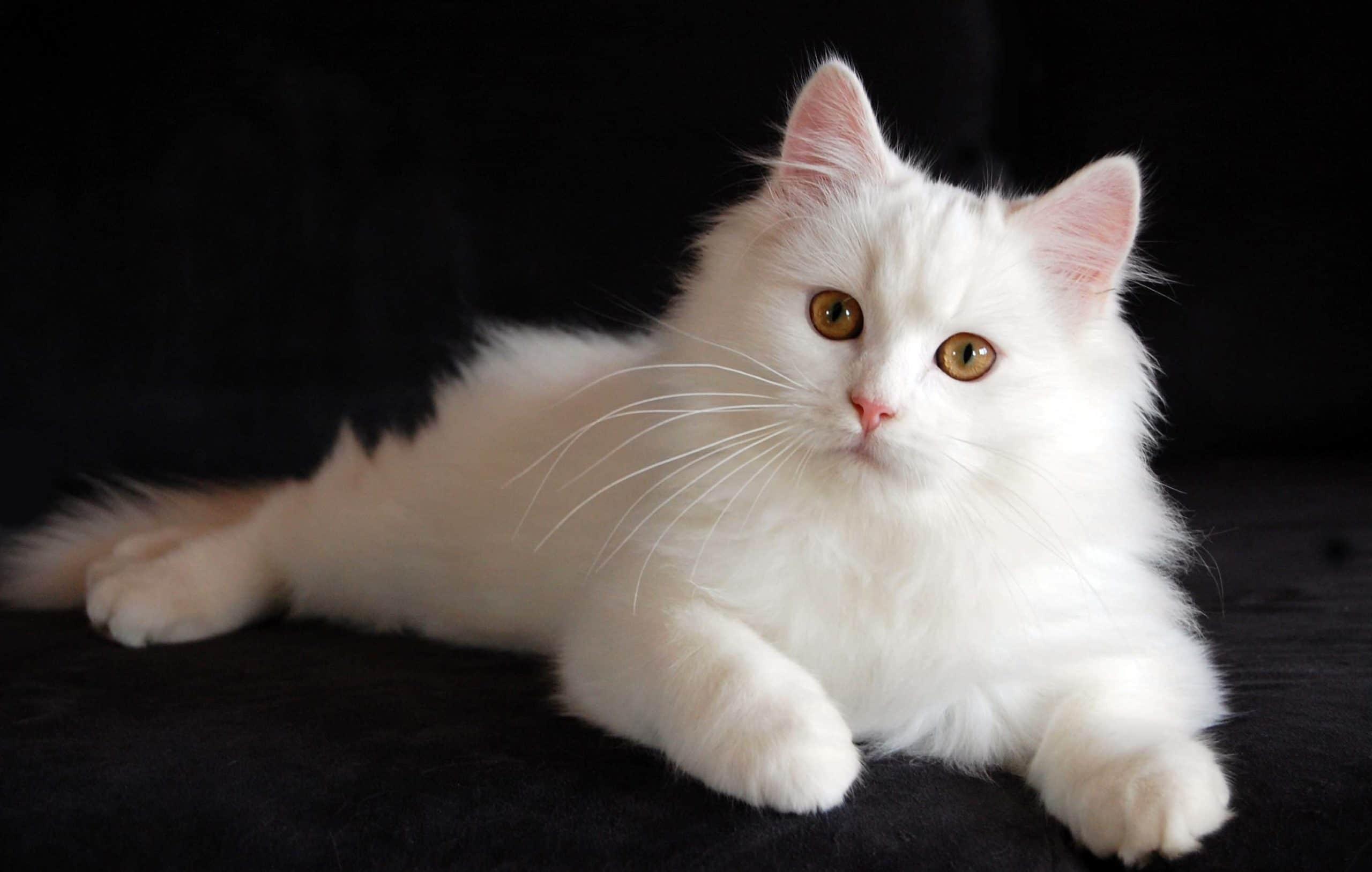 persian cat2