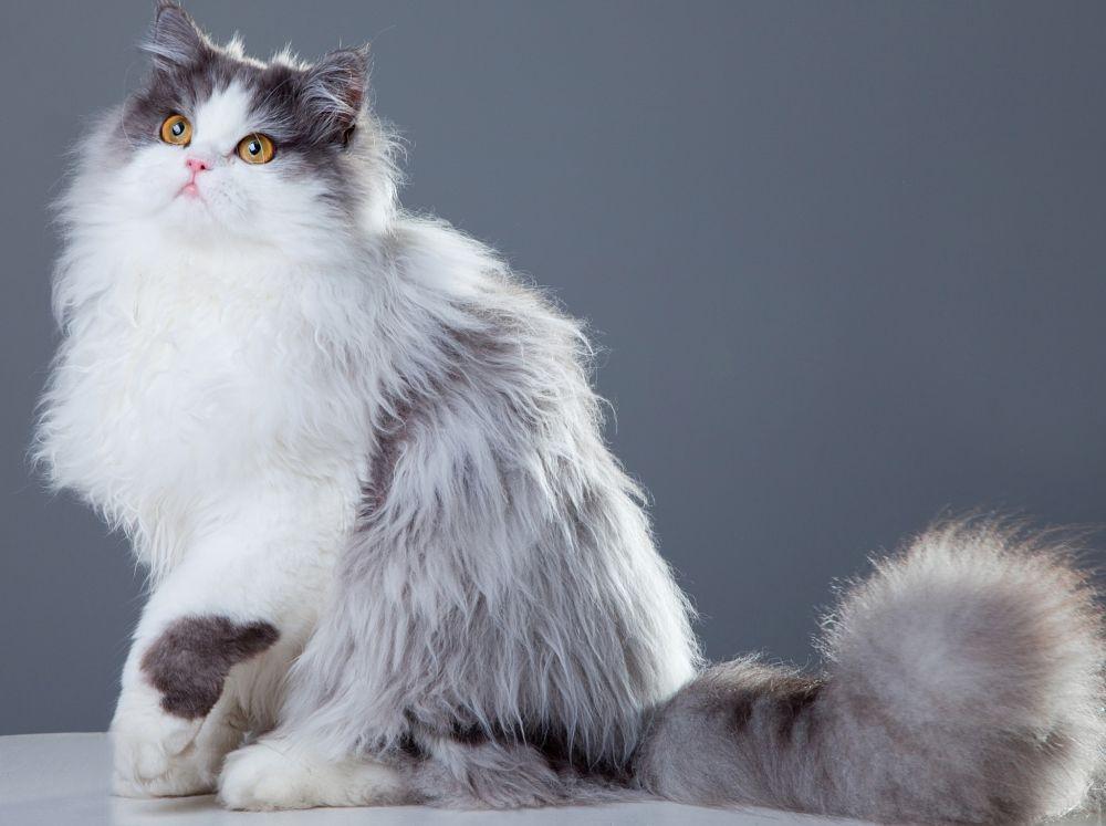 persian cat3