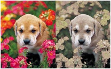 دید رنگ در سگ ها