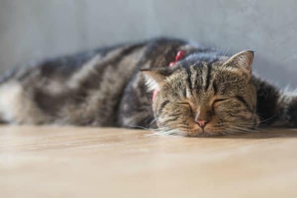 مدفوع گربه ها و توکسوپلاسموز