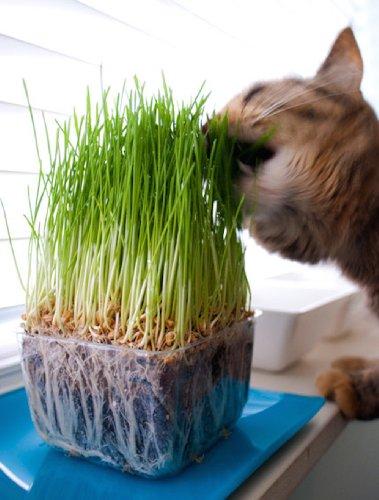 پرورش علف گربه