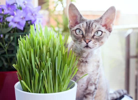 علف گربه