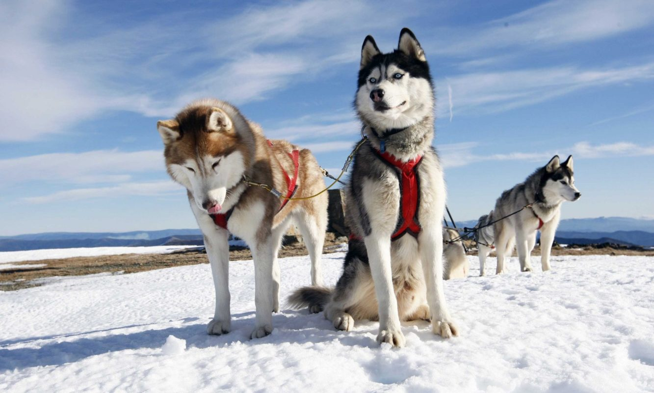سگ هاسکی آلاسکایی