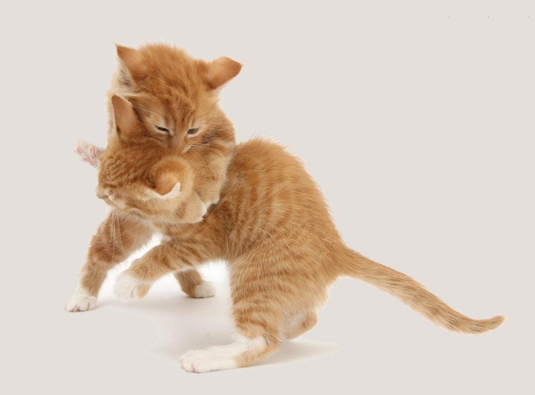 بازی کردن بچه گربه ها