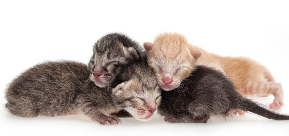 بچه گربه تازه متولد شده