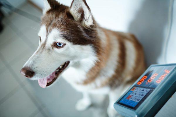چگونه به وزن گیری توله سگ لاغرم کمک کنم