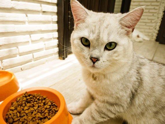کاهش اشتها در گربه