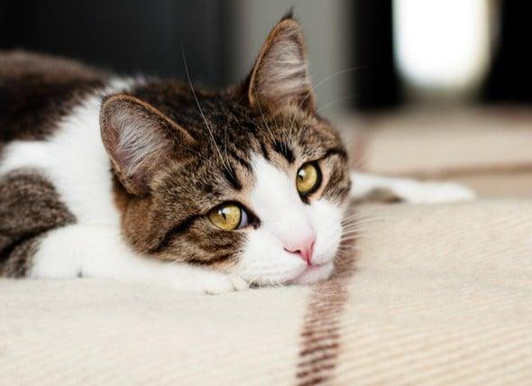 چگونه مشکلات معده گربه ام را برطرف کنم