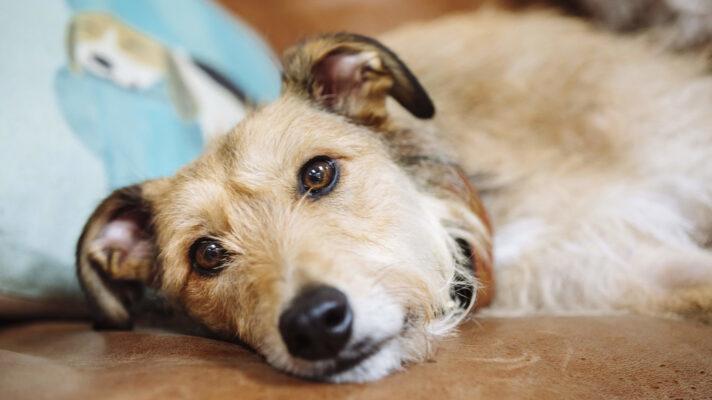 چگونه اسهال را در سگ ها متوقف کنیم