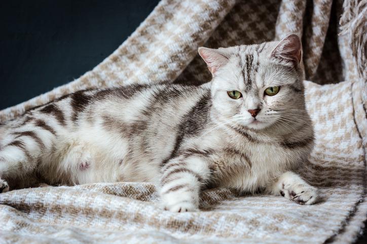 آیا گربه من باردار است