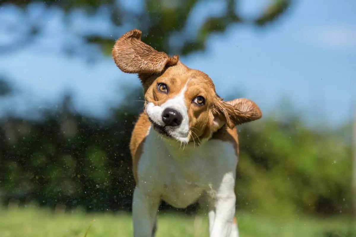 نحوه شناسایی و جلوگیری از عفونت گوش در سگ